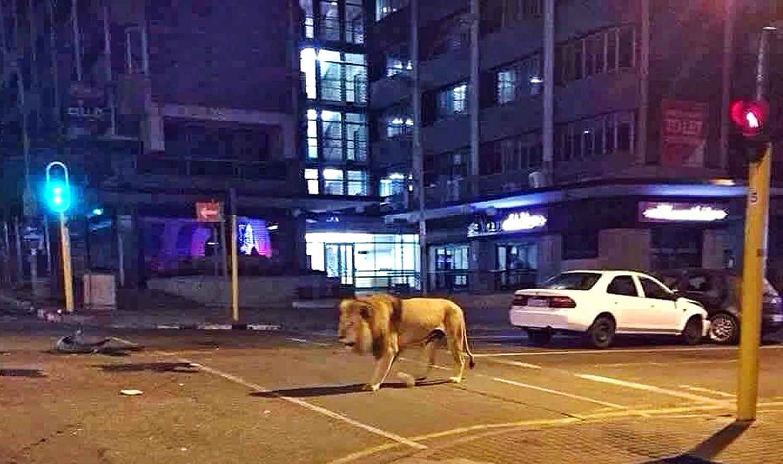 Es falso que el gobierno ruso liberó leones para que la gente no salga de sus casas